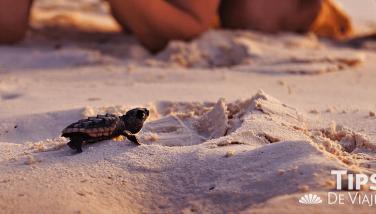 Liberación de tortugas en aguas del Caribe... Las playas de México se han convertido en las favoritas para que seis de las siete especies de tortugas marinas que se encuentran en peligro de extinción a nivel mundial las visiten para dejar sus huevos. De ellas, las que más comúnmente llegan a territorio mexicano son las marinas verdes y la caguama. Cancún, es una zona importante para su habitabilidad, esto gracias a que se ofrecen zonas seguras de anidación además de alimentación nutritiva para el crecimiento de las recién nacidas. De los Hoteles en Cancún, Crown Paradise Club es de los que se preocupan por el cuidado de esta especie marina. En 2017 se tuvieron 138 nidos de los que nacieron 8 mil 569 tortugas. Periodo de desove El periodo de desove es de mayo a finales de julio. Durante este tiempo las hembras llegan a la arena, cavan un agujero que va de los 40 a los 50 cm de profundidad, dejan los huevos (entre 70 y 100), los cubren y regresan al agua. Durante este acto, personal del hotel cuida que nadie las moleste. Posterior, los huevos se trasladan a un nido para protegerlos hasta su nacimiento, que será aproximadamente 3 meses después. La liberación de las tortuguitas se lleva a cabo de junio a noviembre. Durante estos meses es probable que si visitas la Riviera Maya puedas colaborar y guardar un bello momento en tu memoria. ¿Qué hacer durante el periodo de desove? Si por casualidad alguna vez que vayas caminando por la playa te toca ver a una tortuga poniendo huevos, observa de lejos. Por ningún motivo te acerques a tocar al animal. Evita tomar fotografías y si lo haces que sea sin flash, pues esto puede distraerla, además que se guían por la luz por lo que podrías estresarla, intervenir el proceso y con ello interrumpir el desove, ¡se consciente! ¿Cómo liberar tortugas? 1. Cuando vayas a colaborar en la liberación de las tortuguitas pero sobre todo si vas a tocarlas es muy importante que tengas las manos limpias y que las frotes con arena de mar para limpiar