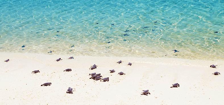 Liberación de tortugas en aguas del Caribe...
