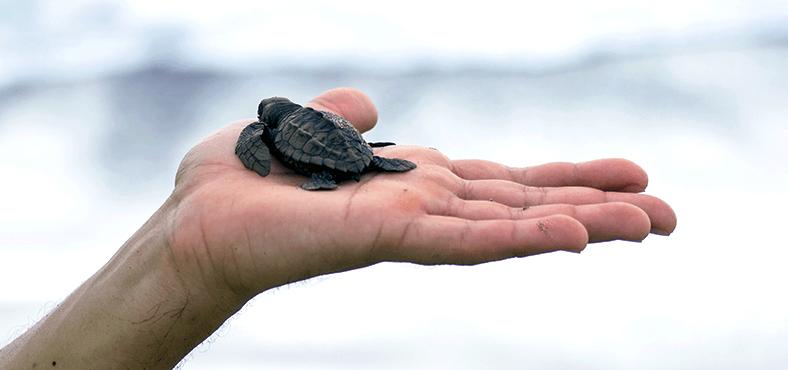 ¿Cómo liberar tortugas?