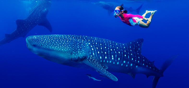 El pez más grande del mundo es... tiburón ballena